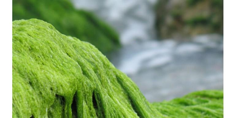Fonalas alga a tóban – a védekezés lehetőségei