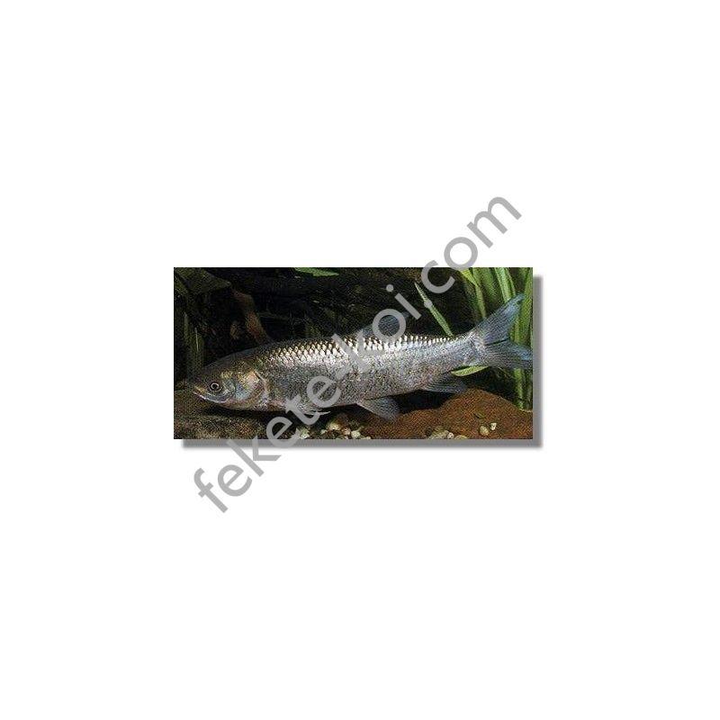 Amur 18-25cm kerti tóba