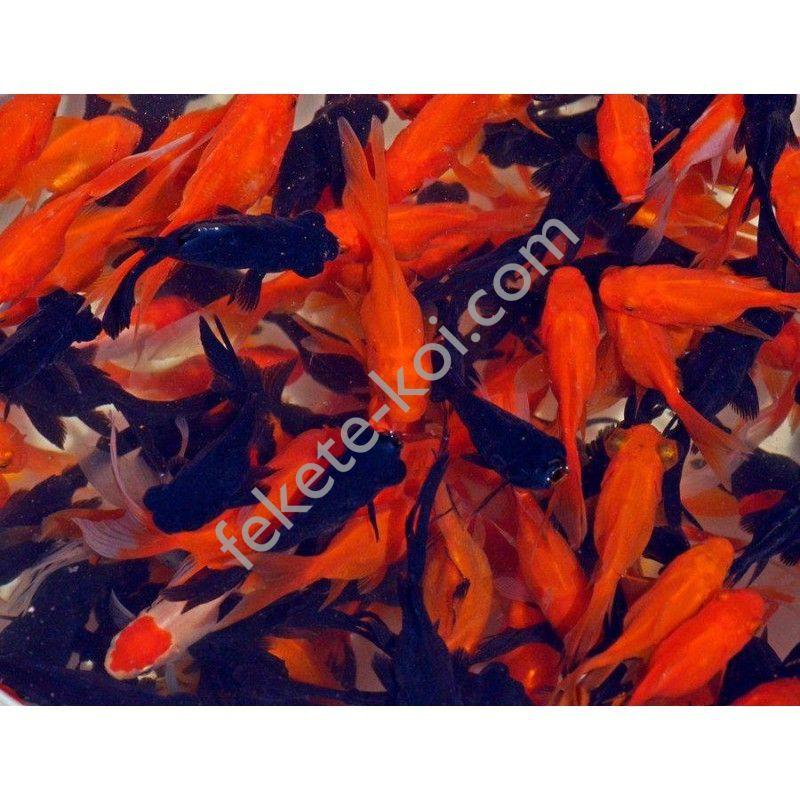 Tavi mix (Shubunkin, sarasa, piros, sárga aranyhal) 5-7 cm (10 db)