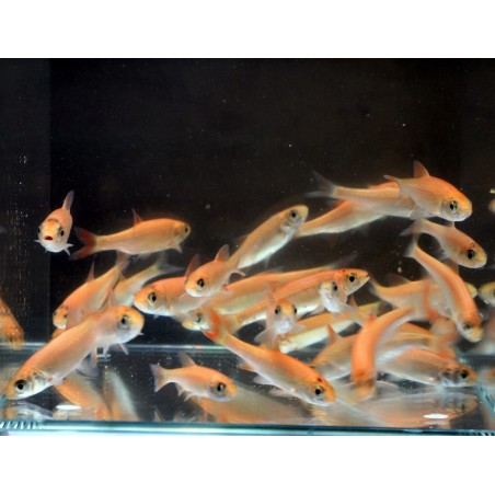 Arany jász orfen (Gold orfen) 8-10 cm