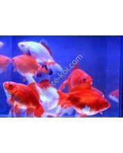 Wakin Red-White 12-15cm