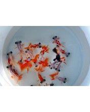 Red moor mix 5-8cm (piros-fehér)