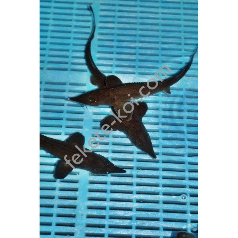 Lénai tok (Acipenser Baeri) 50-60 cm