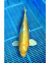 Koi Handpick 45-50cm (4)