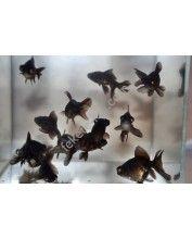 Black moor osztott farkú aranyhal 7-9cm