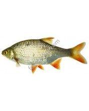 Vörösszárnyú keszeg (Scardinius erythrophthalmus) 8-10 cm