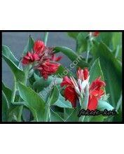 Canna red (Piros kannavirág)