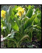 Canna yellow (Sárga kannavirág)