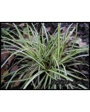 Carex morowii 'Variegata' - Csíkos törpe sás