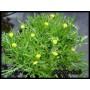 Cotula coronopifolia - Lúgvirág