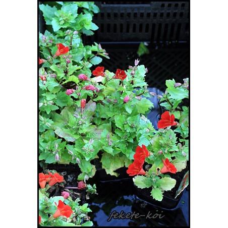 Mimulus cupreus Piros bohócvirág