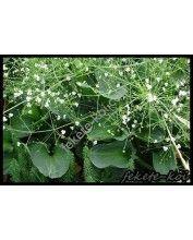 Alisma parviflora - Kereklevelű hídőr