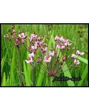 Butomus umbellatus - Virágkáka