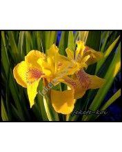 Iris pseudacorus Variagata - Sárga nőszirom