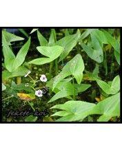 Sagittaria sagittifolia -  Keskenylevelű nyílfű