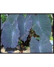Colocasia esculenta antiquorum - Fekete Táró