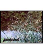 Scirpus lacustris - Tavi káka