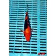 Kase Tenyészet Tosai Mix 18-22cm (K28)