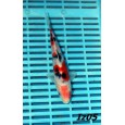 Japán Izumiya Tosai mix 16-20cm ( Iz05 )