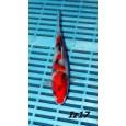 Japán Izumiya Tosai mix 16-20cm ( Iz17 )