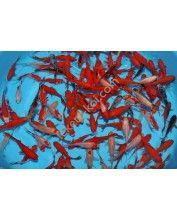 Tavi aranyhal mix (Sarasa, piros aranyhal)  10-12 cm  (10 db)