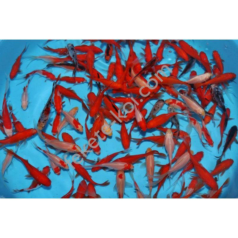 Tavi aranyhal mix (Sarasa, piros aranyhal, shubunkin)  10-12 cm  (10 db)