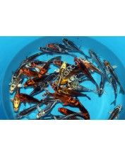 Koi Handpick Metal Mix 12-15cm
