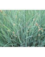 Carex panicea (1121)