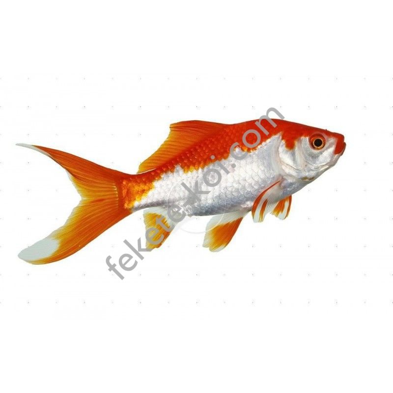 Sarasa piros fehér aranyhal 10-12cm