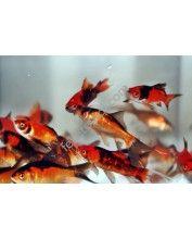 Aranyhal piros-fekete 4-7cm