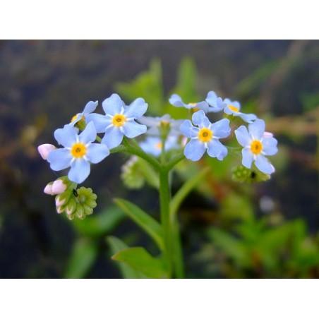 Myosotis palustris- Kék nefelejcs
