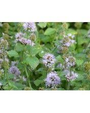 Mentha aquatica pulegium - Csombormenta(107)