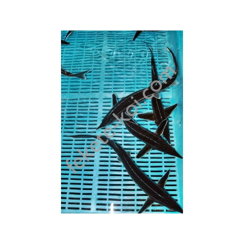 Kecsege (Acipenser Ruthenus)30-35cm