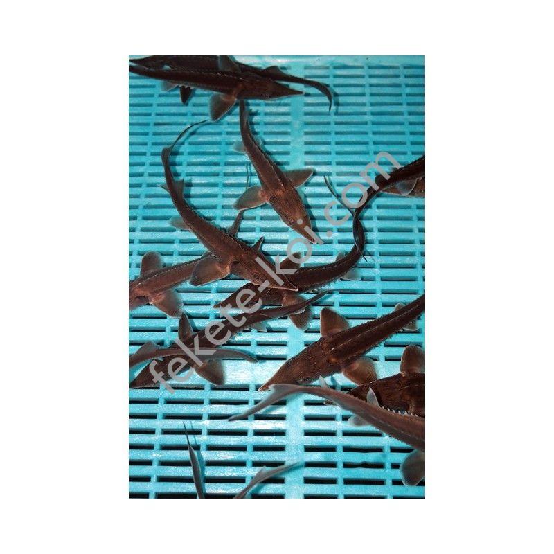 Lénai tok (Acipenser Baeri) 15-20 cm