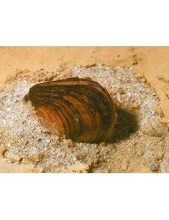 Tavi kagyló 7-10 cm