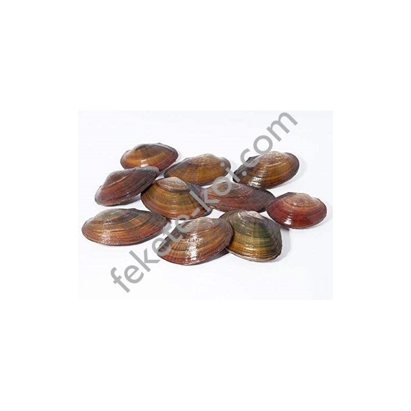 Tavi kagyló 5-7 cm
