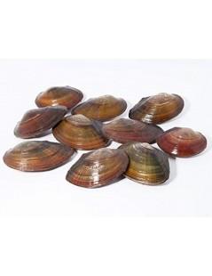Tavi kagyló 10-14 cm