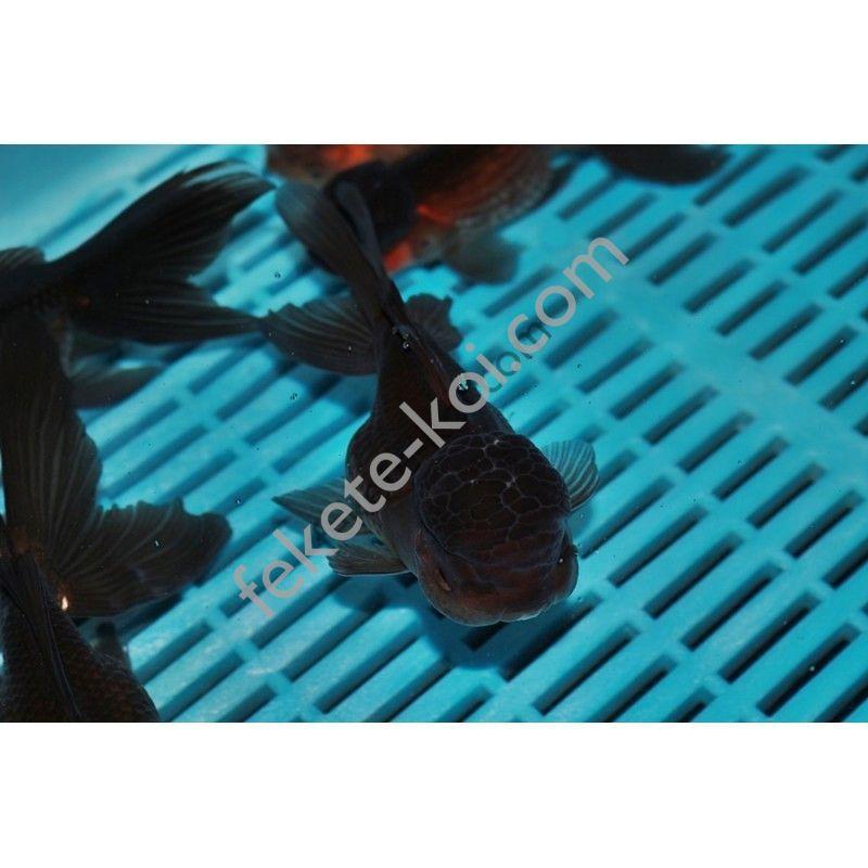 Black Oranda 12/14 cm
