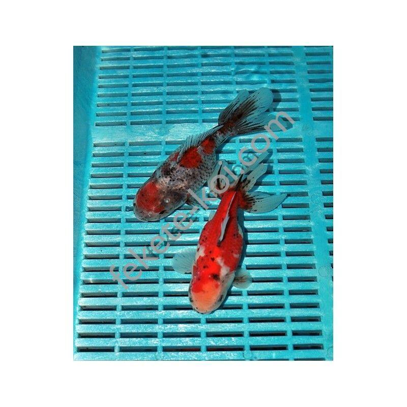 Prémium Oranda 16/18 cm