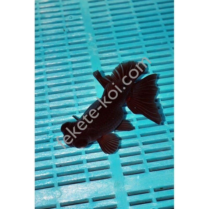 Prémium Black Moor 16/18 cm