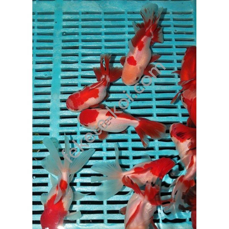 Prémium Oranda Red/White 12/14 cm