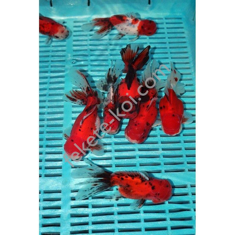 Prémium Oranda 14/16 cm