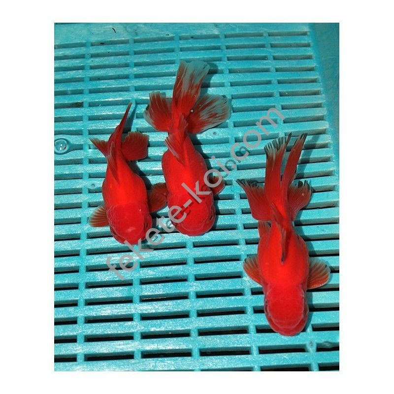 Prémium Oranda red 12-14 cm