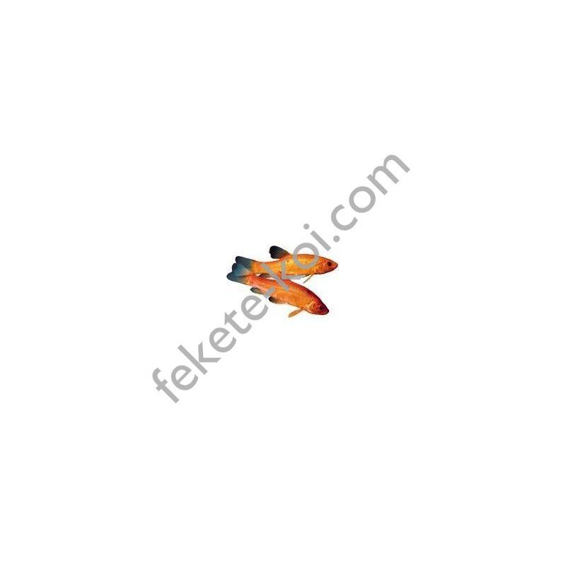 Arany compó ( Tinca tinca ) 7-10 cm (5db)