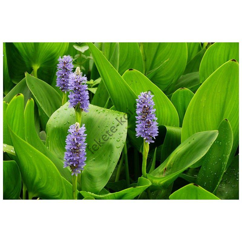 Pontederia cordata - Tömött sellővirág