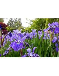 Íris versicolor - Apró virágú írisz