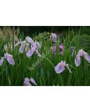 Iris laevigata rose queen - Japán írisz