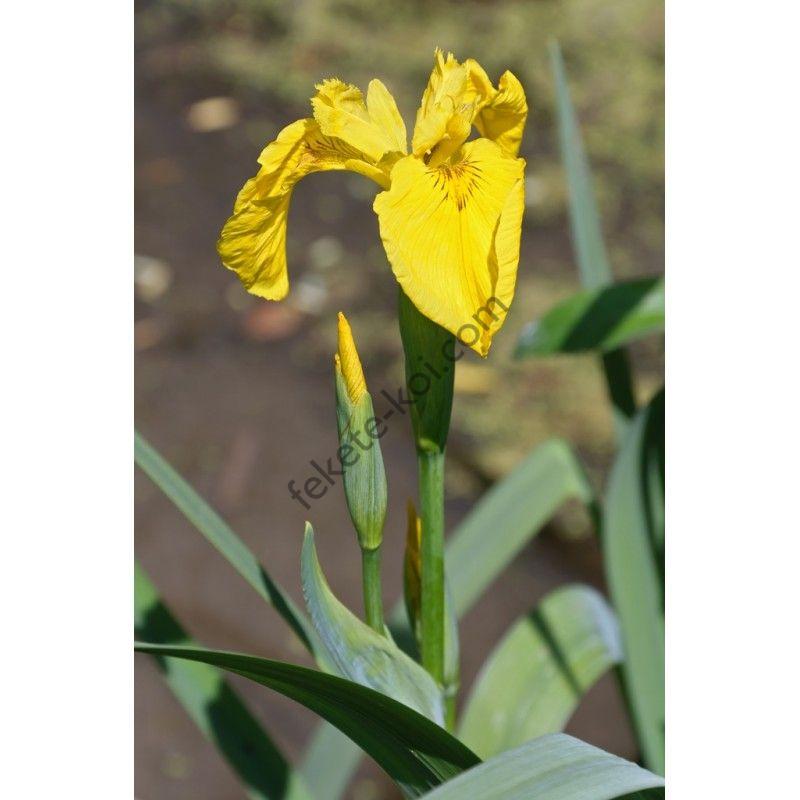 Iris pseudacorus - Mocsári nőszirom