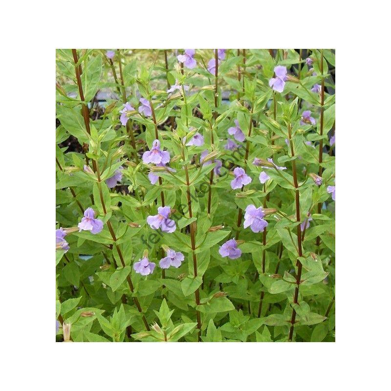 Mimulus ringens - Kék bohócvirág