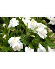 Mazus reptans albus - Fehér kúszó szemölcsvirág